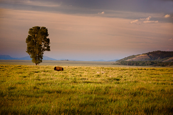 Photograph Lone Buffalo by Jack Booth on 500px