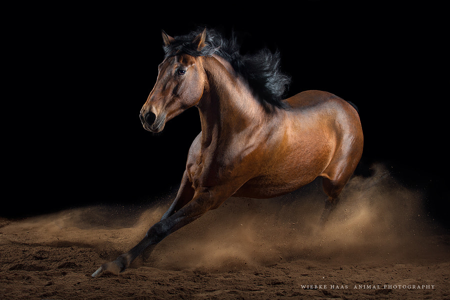 horse photography - Whirlwind by Wiebke Haas on 500px.com