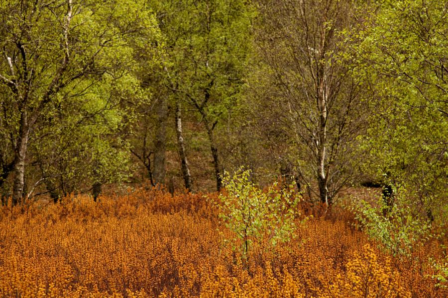 Silver Birch and Bog Myrtle 1