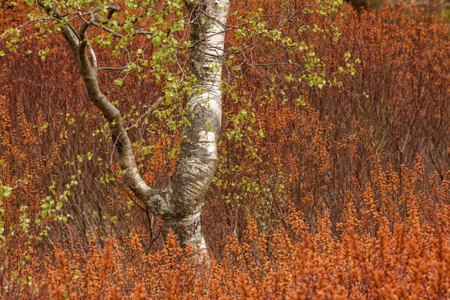 Silver Birch and Bog Myrtle 2