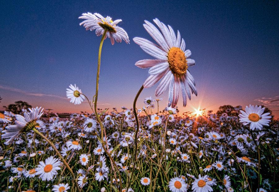 Dawn shot of a Nottinghamshire daisy field