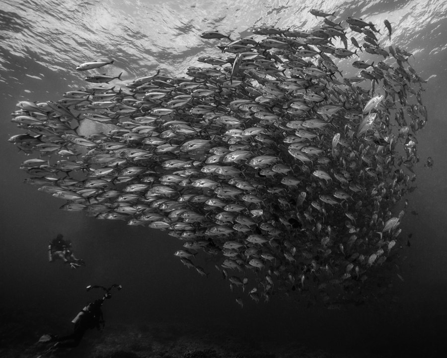 School of Jacks and Divers