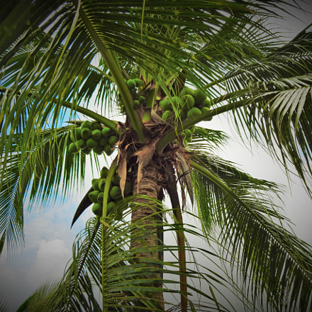 Coconut Tree in Vietnam, Sony DSC-WX170