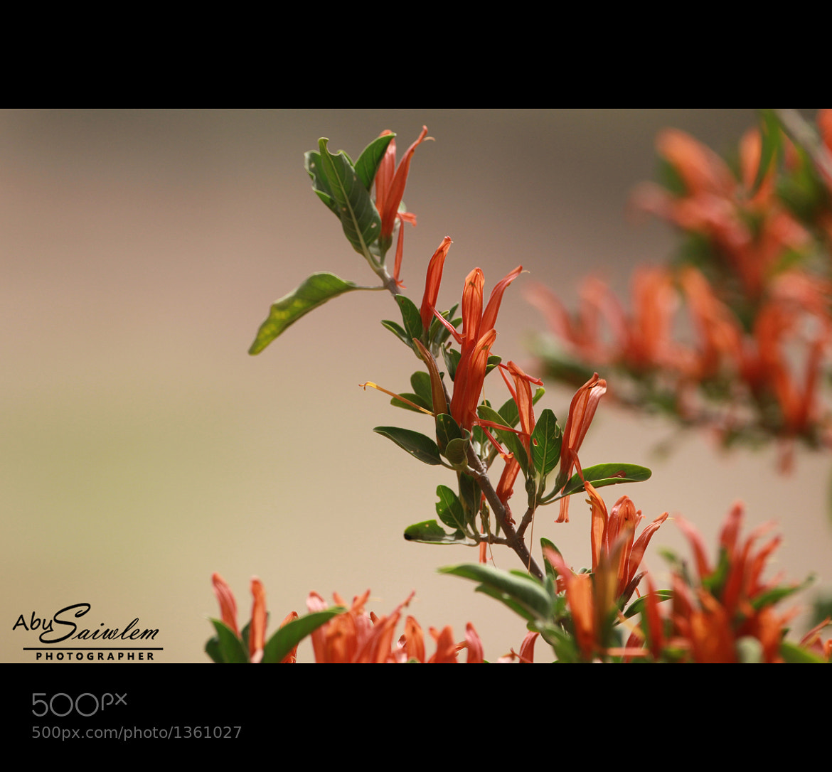 Photograph Anisotes trisulcus by Abu  Swailem on 500px