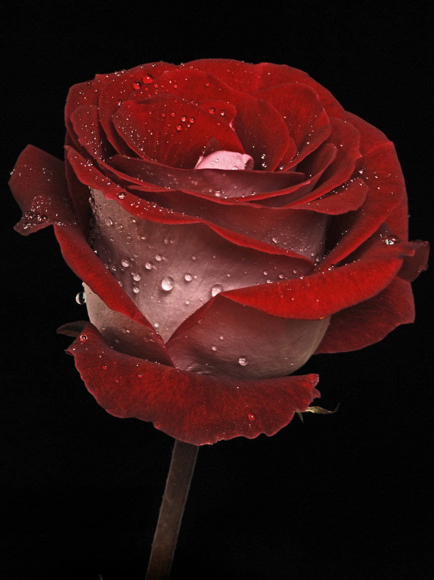 Photograph Dark Red Rose by Cristobal Garciaferro Rubio on 500px