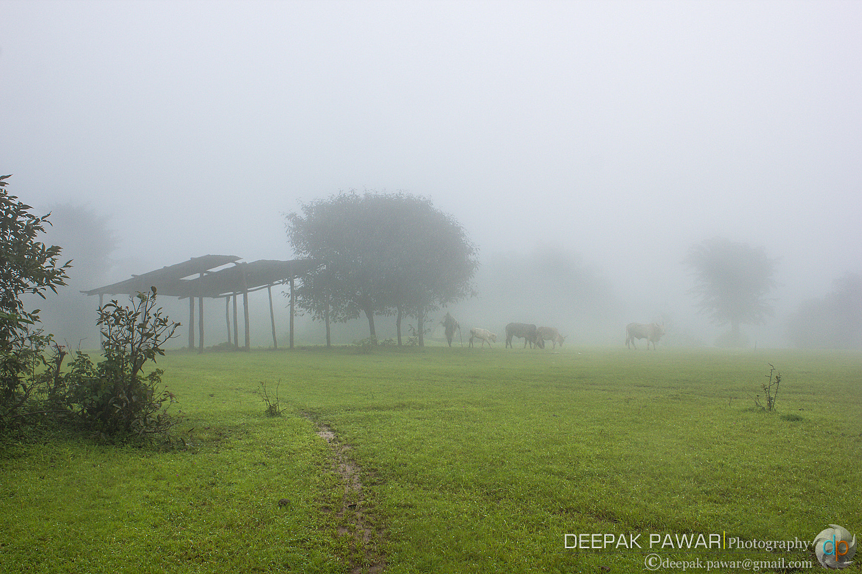 Photograph Cattle in the smog by Deepak Pawar on 500px