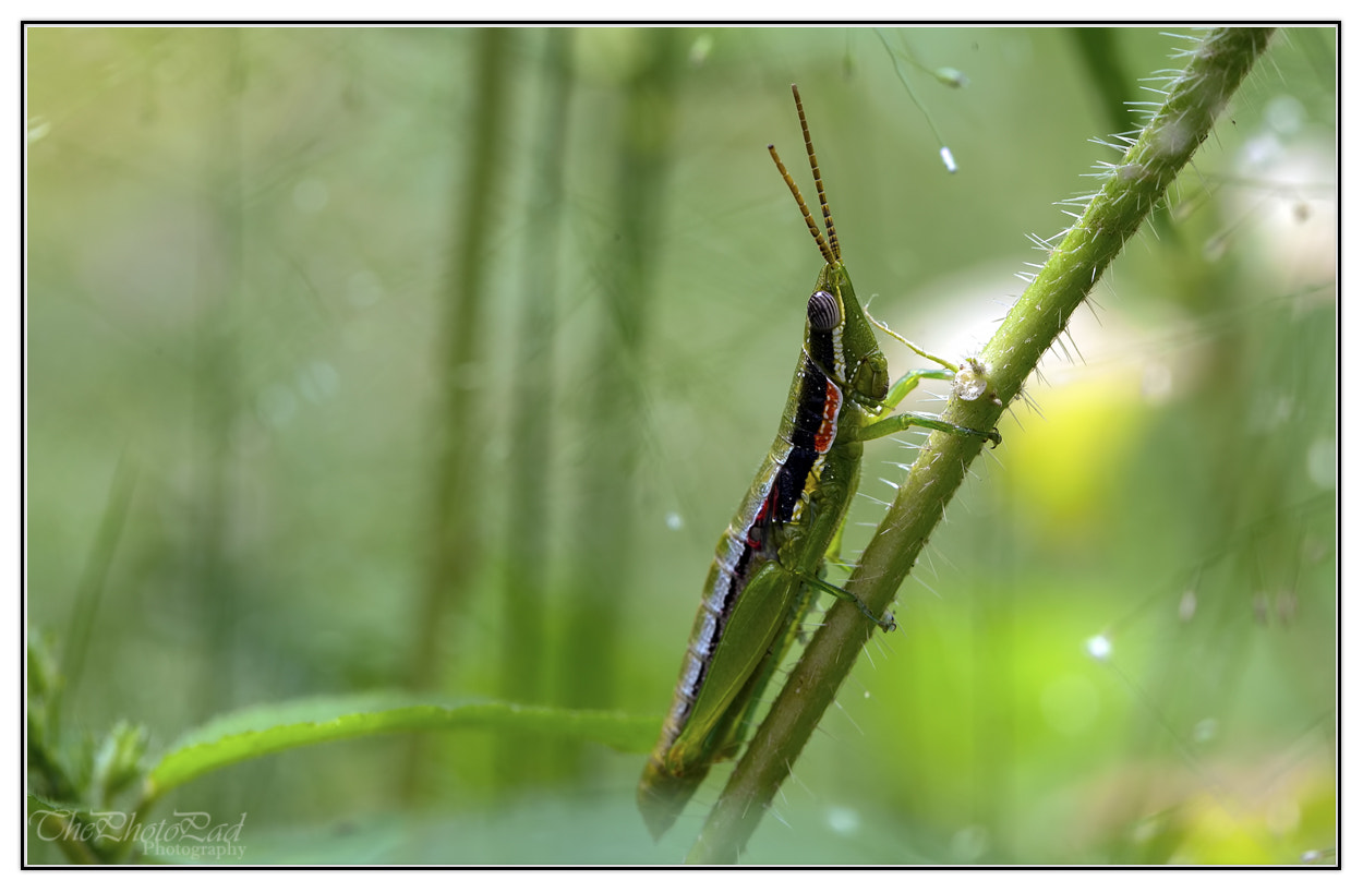 Photograph Grasshopper by Sameer pas on 500px