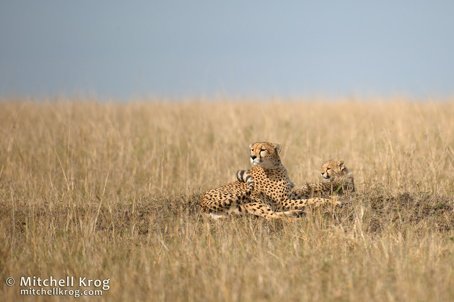 Photograph Cheetah and Cub - Maasai Mara, Kenya by Mitchell Krog on 500px