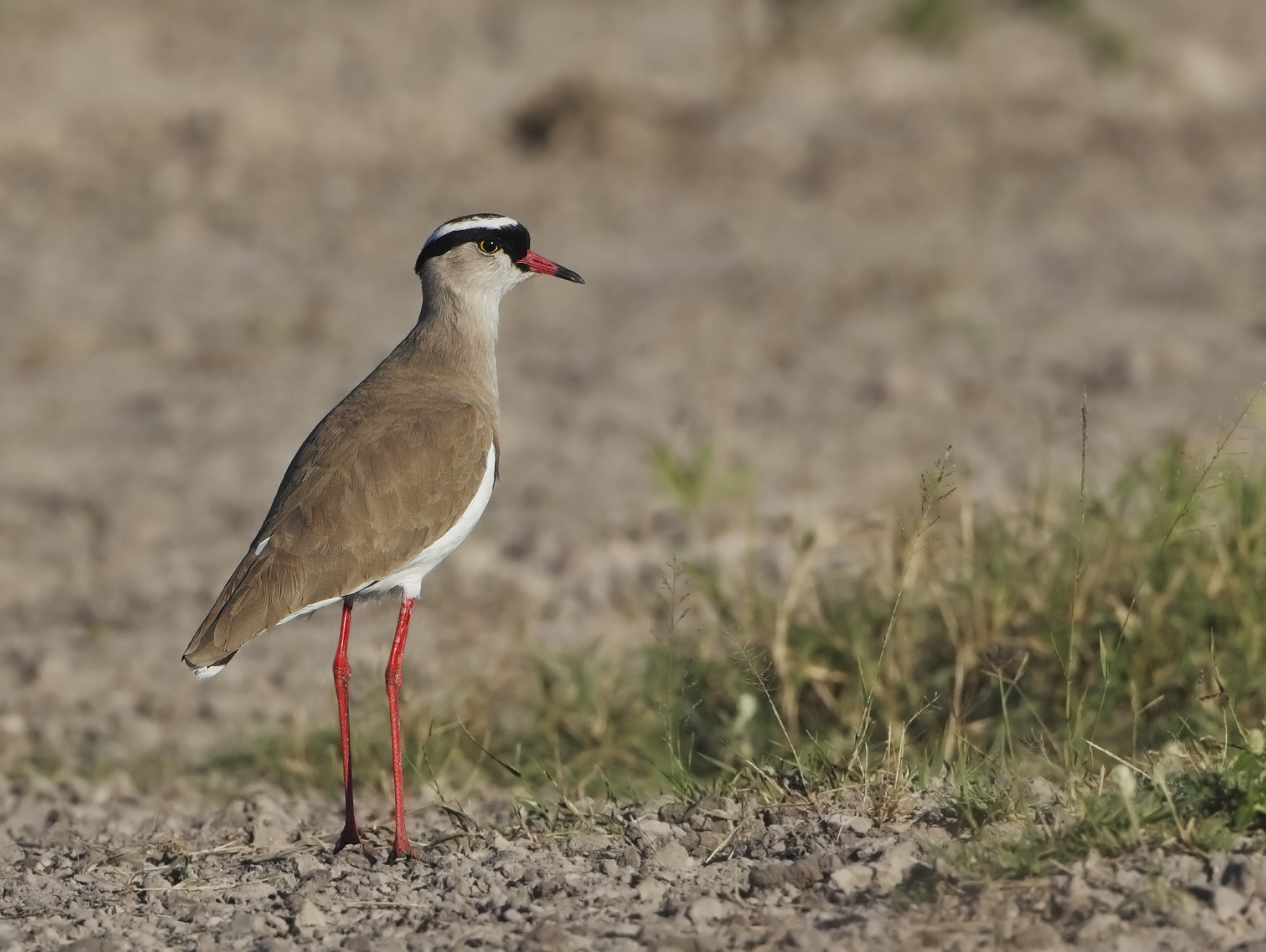 Photograph Crowned Plover by Ken Watkins on 500px