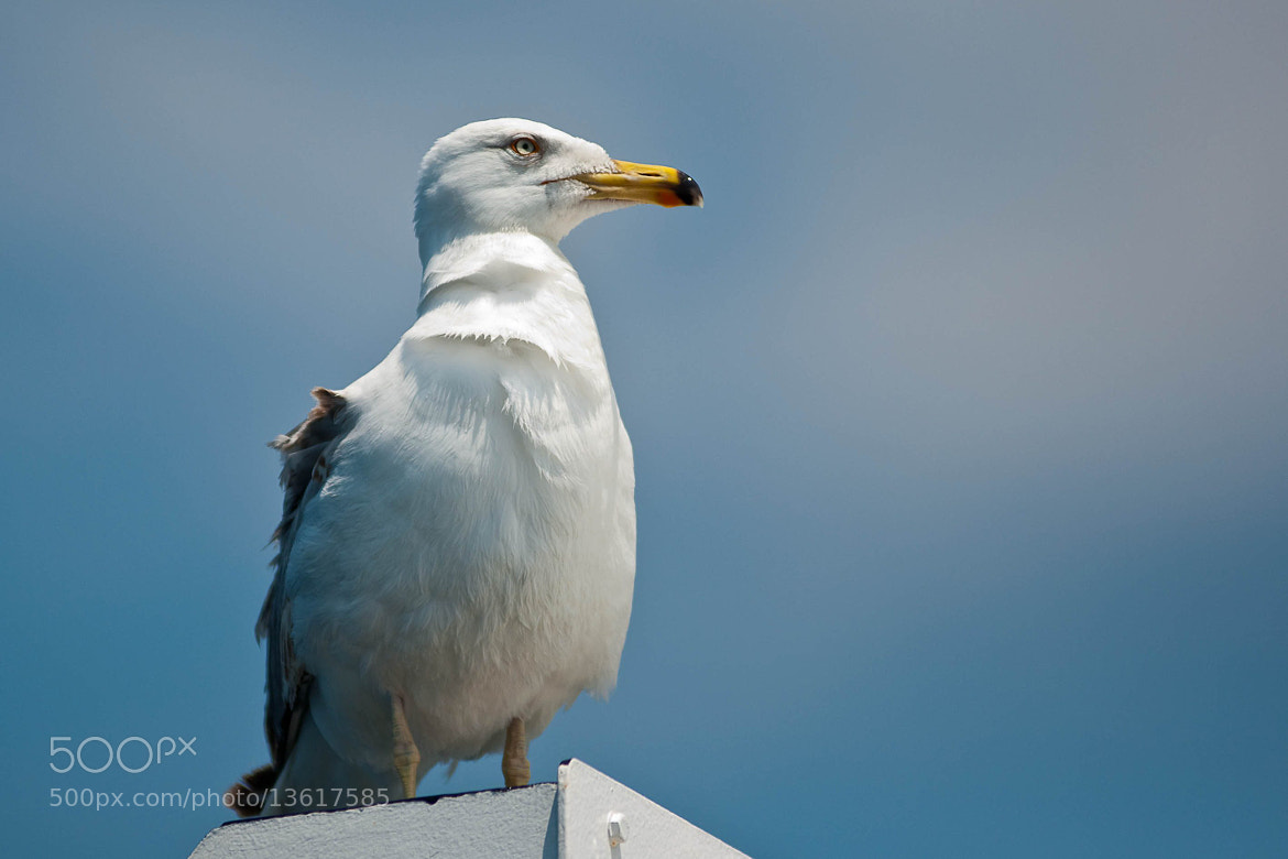 Photograph seagull (01) by Vlado Ferencic on 500px