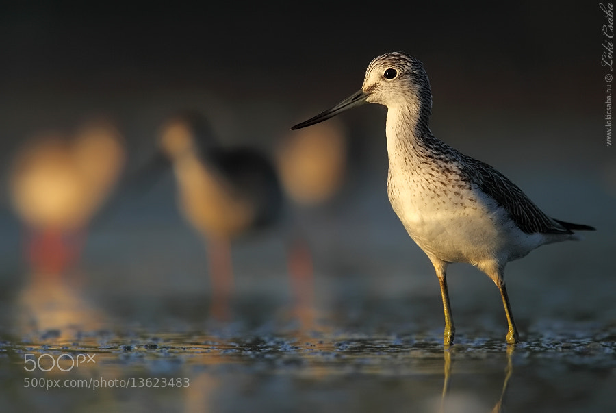 Photograph Common Greenshank by Csaba Loki on 500px