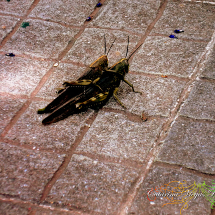 Mating of grasshoppers, Fujifilm FinePix JX420