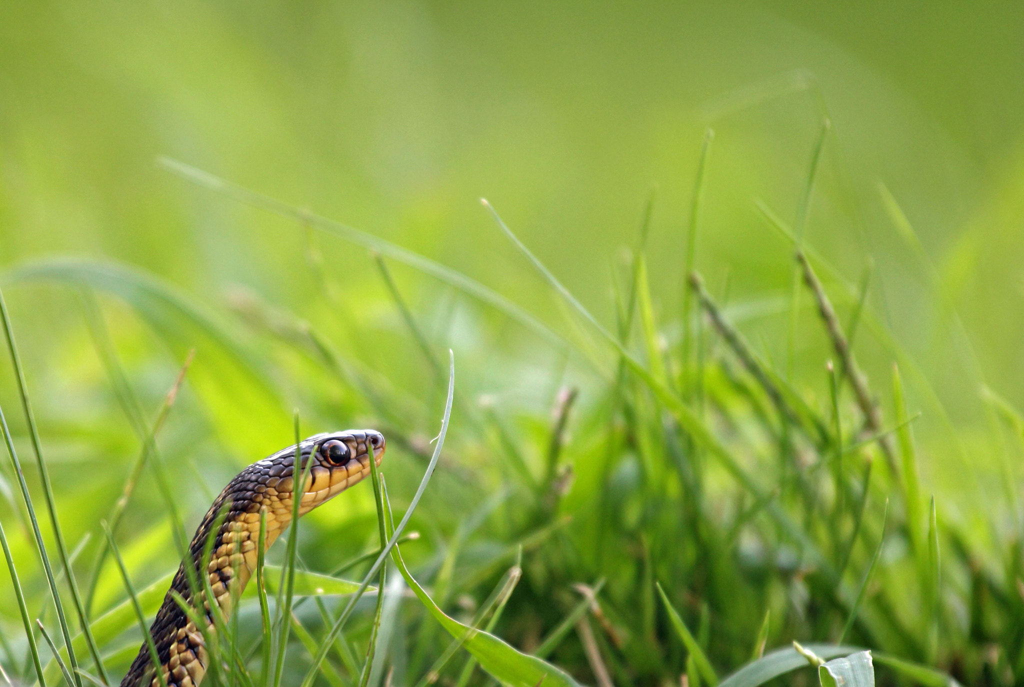 Photograph Common Garter Snake (Thamnophis sirtalis) by Maddin n.a. on 500px