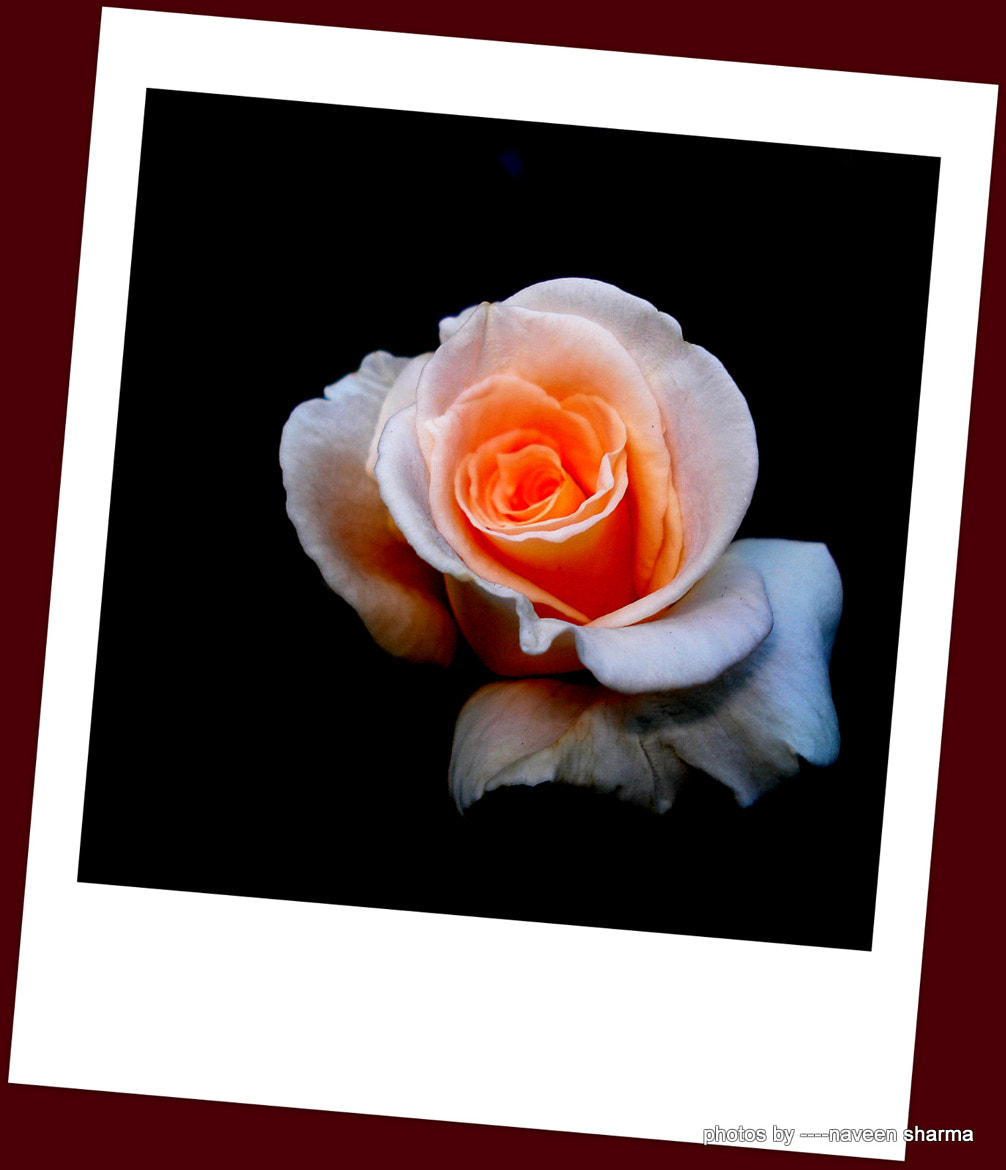 Photograph rose attractions by naveen sharma on 500px