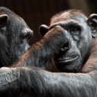 Playful chimps at Chester zoo