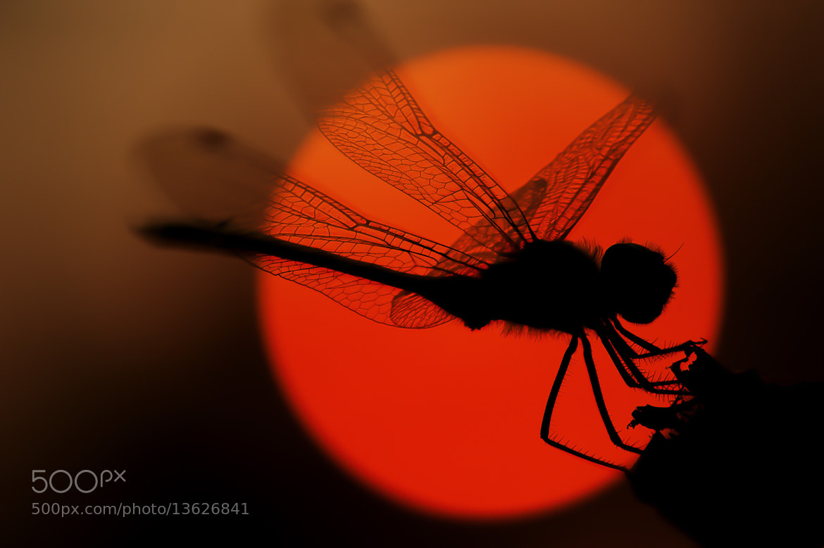 Photograph Dragonfly  by Candy Halls on 500px