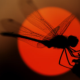 Dragonfly  by Candy Halls (CandyHalls)) on 500px.com