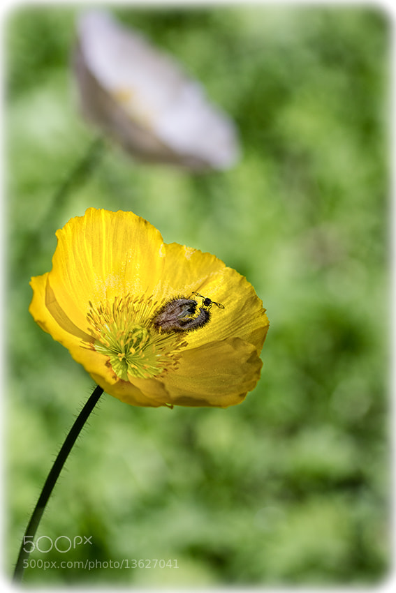 Photograph The Bug on the Yellow Flower by Bianca K on 500px