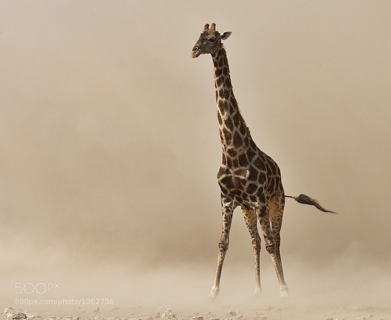 Photograph Giraffe in dust storm by Ken Watkins on 500px