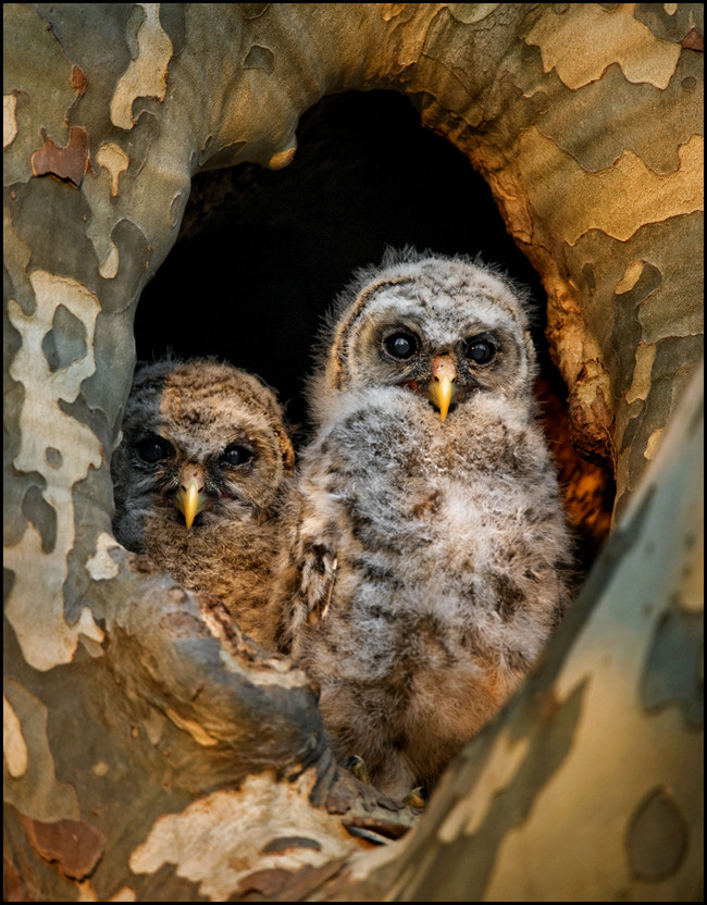 Photograph Barred Owlets.... by Kevin Fleming on 500px