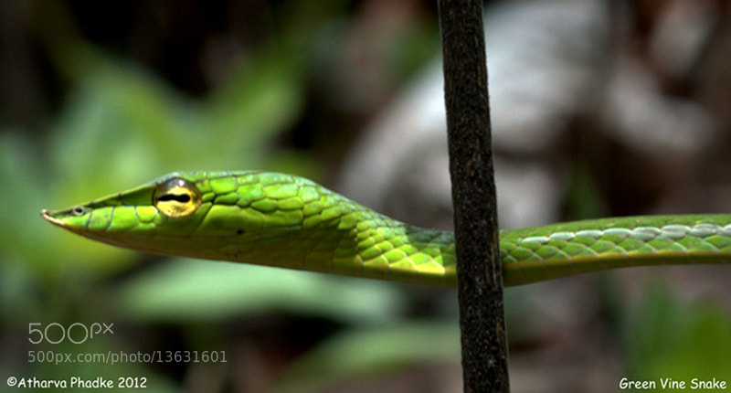 Photograph Green Vine Snake by Atharva Phadke on 500px