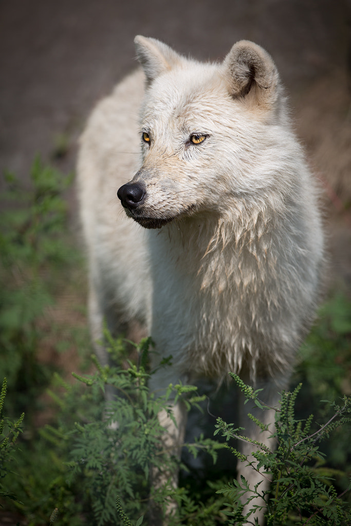 Photograph With wolf by Philippe DE-BRUYNE on 500px