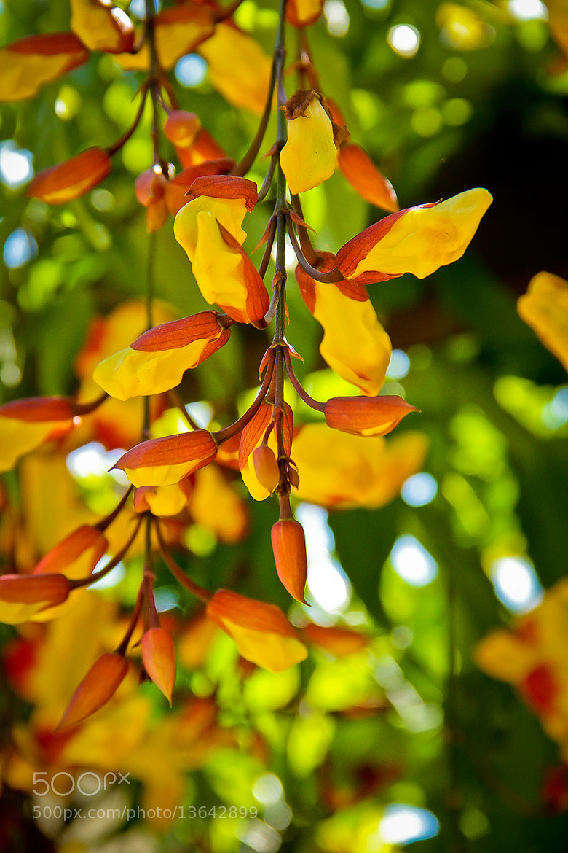 Photograph Thunbergia mysorensis by Paulo Eduardo Canedo Nabas on 500px