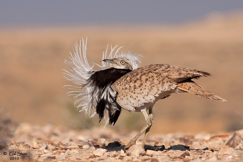 Photograph Macqueen's Bustard by Gal Shon on 500px