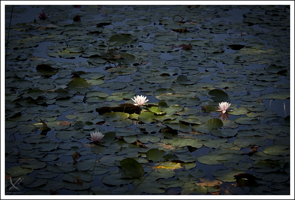 Photograph water lilies by Xavi Arqués on 500px