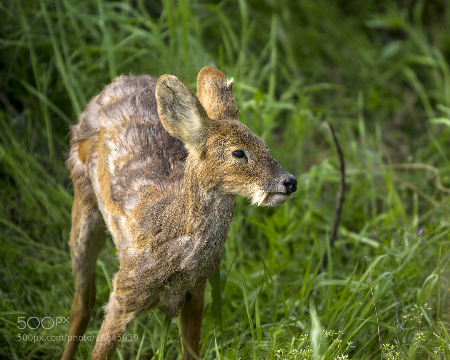 Photograph Tusked Water Deer by Devon Pike on 500px