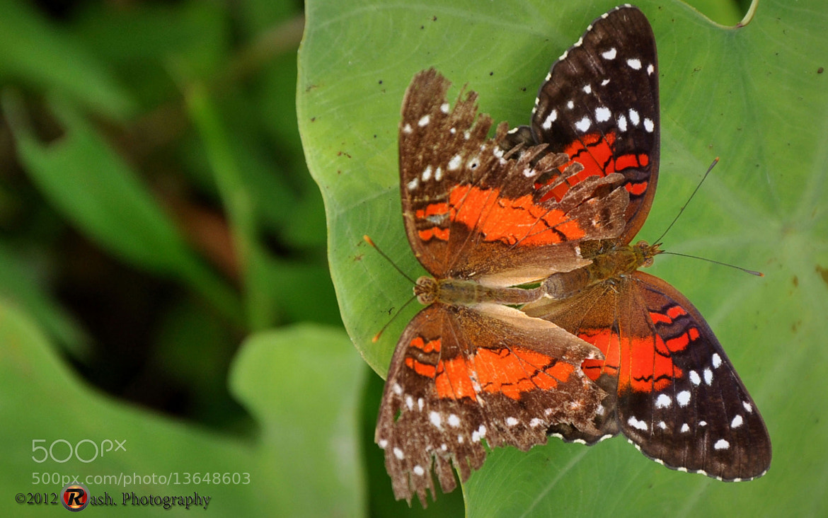 Photograph Butterflies by Fadiel Baksoellah on 500px