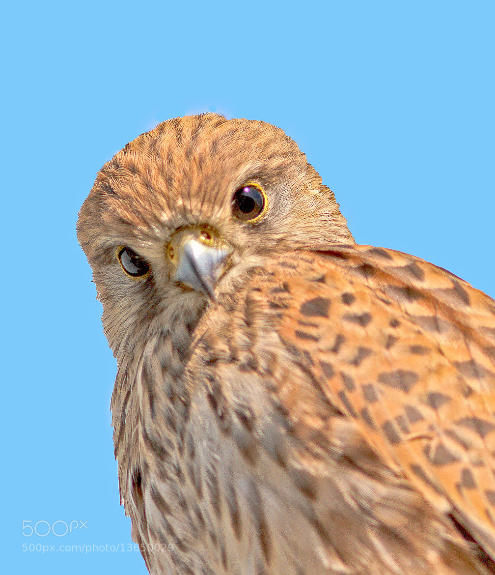 Photograph kestrel by JOHN  DALY on 500px