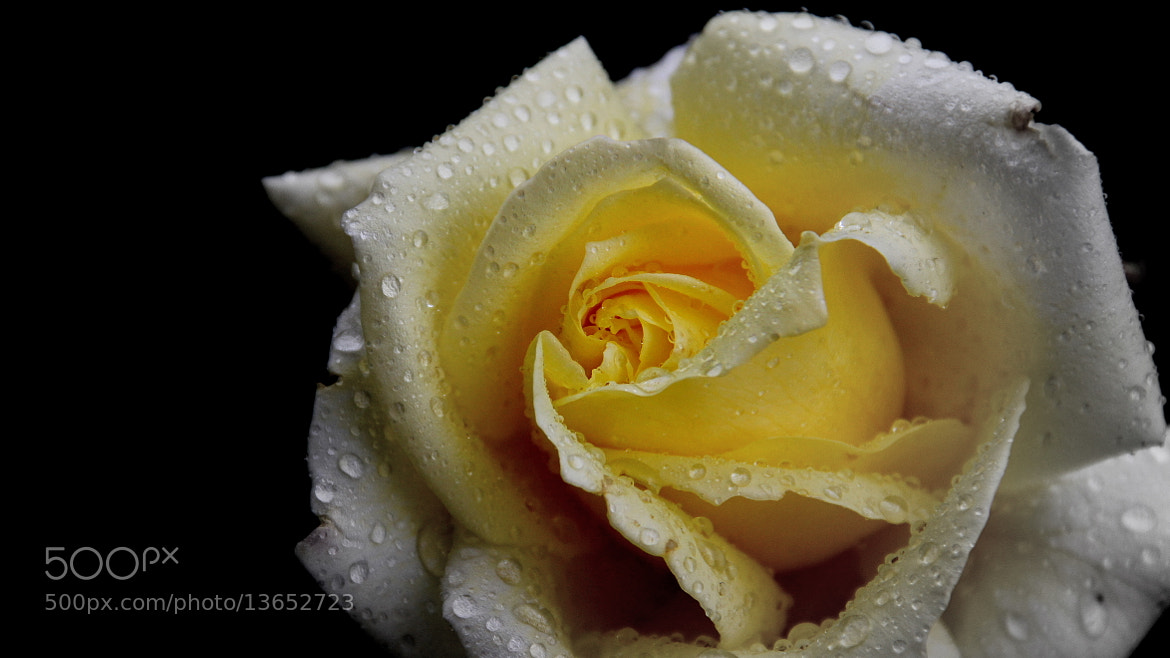 Photograph Rose of the monsoon by Munish Palaniappan on 500px