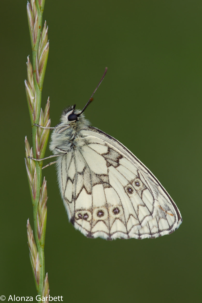 Photograph Marbled White Butterfly  by Alonza  Garbett on 500px