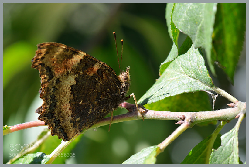 Photograph Aglais urticae by Oleksii T. on 500px