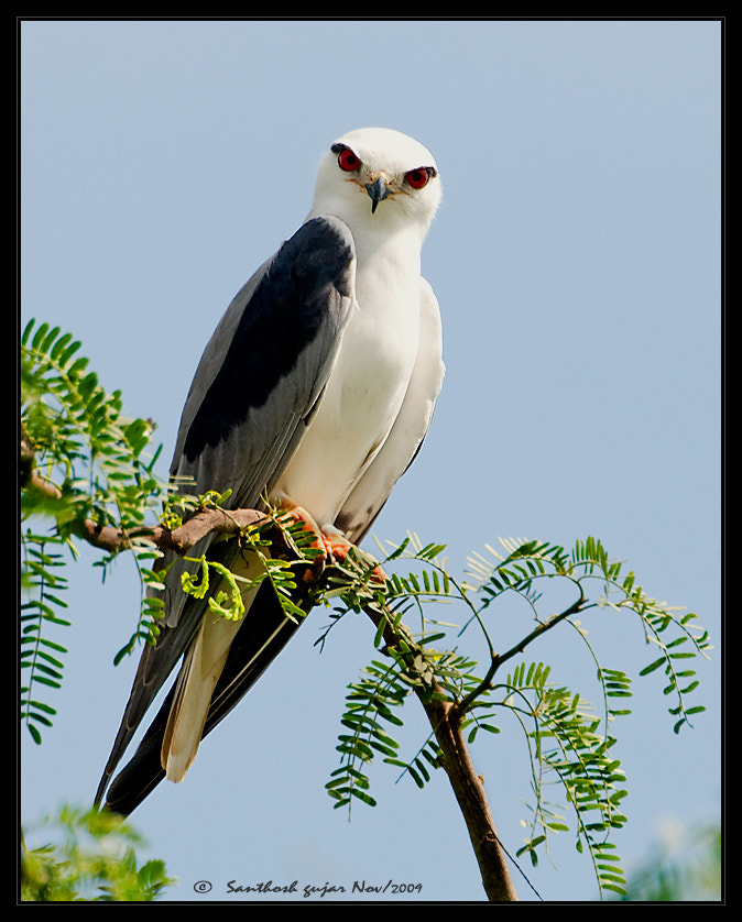 Photograph The Look - Black Shouldered Kite by Santhosh Gujar on 500px