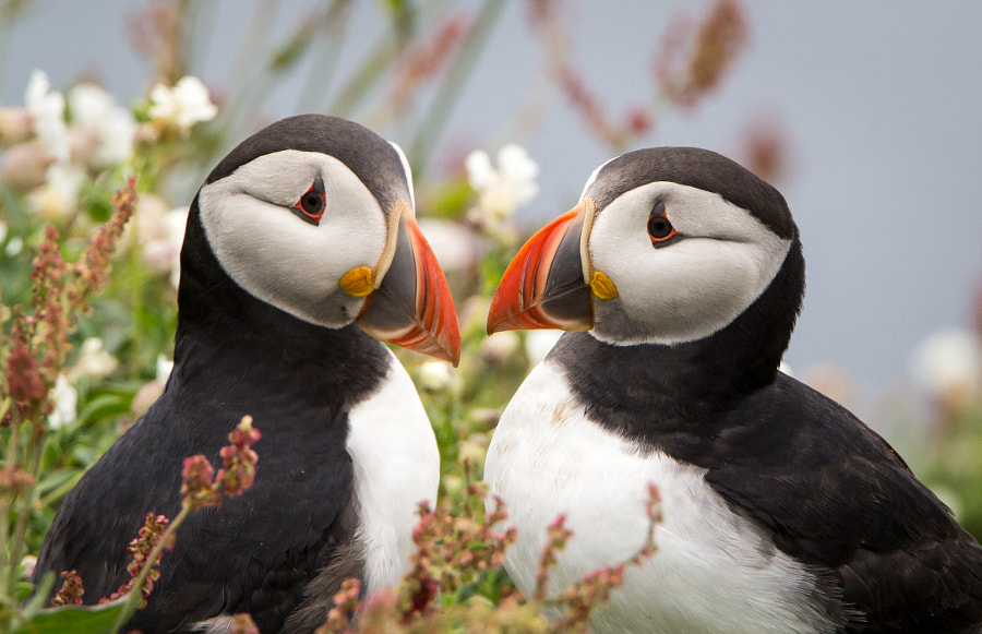 Puffin love by Doug Plume on 500px.com