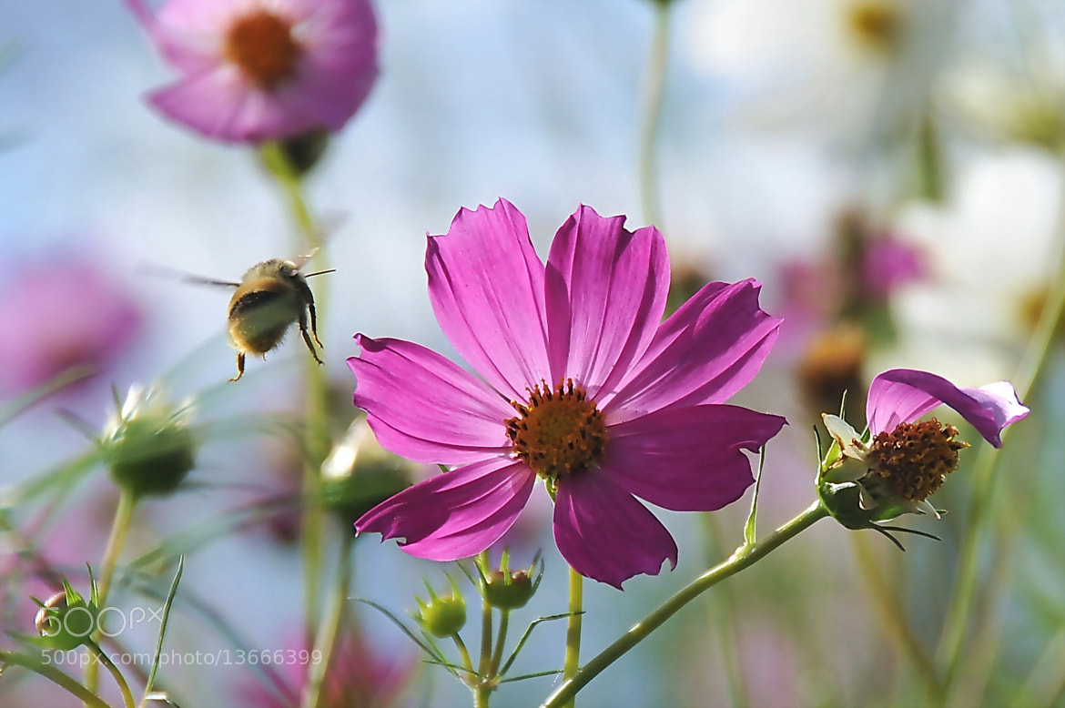 Photograph HonyBee flying in the cosmos -2 by KEN OHSAWA on 500px
