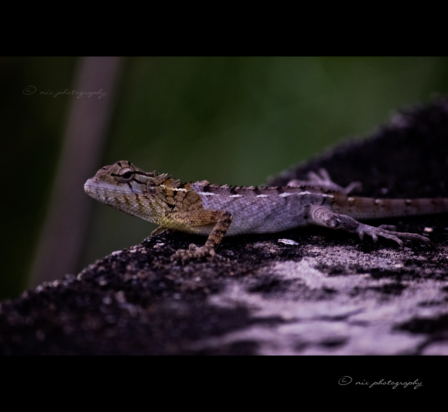 Photograph Garden Lizard by Nithesh Kanth on 500px
