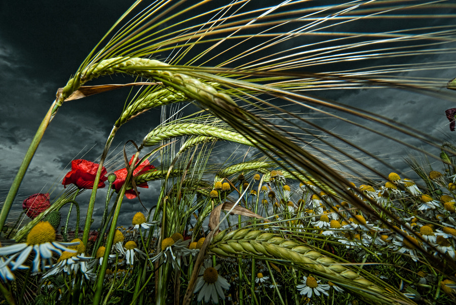 Two Row Barley surrounded by daises and poppies... Part of a series of 'dramatic flowerscapes'