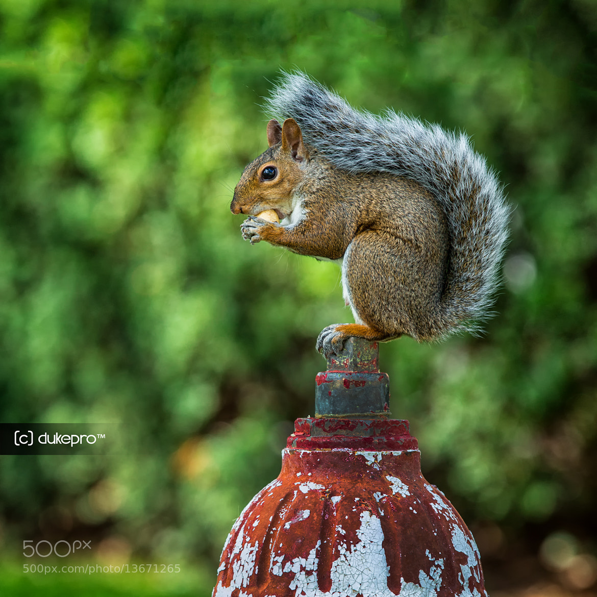 Photograph The Squirrel Is On The Fire Hydrant  by DukePro Photography on 500px