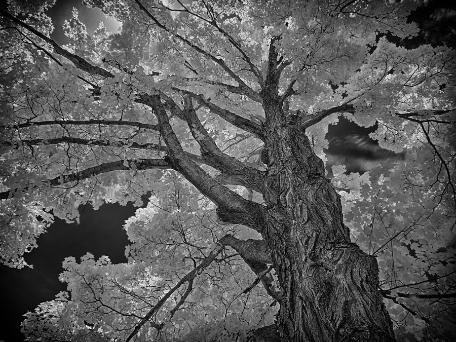 Sugar Maple by John Poltrack on 500px.com