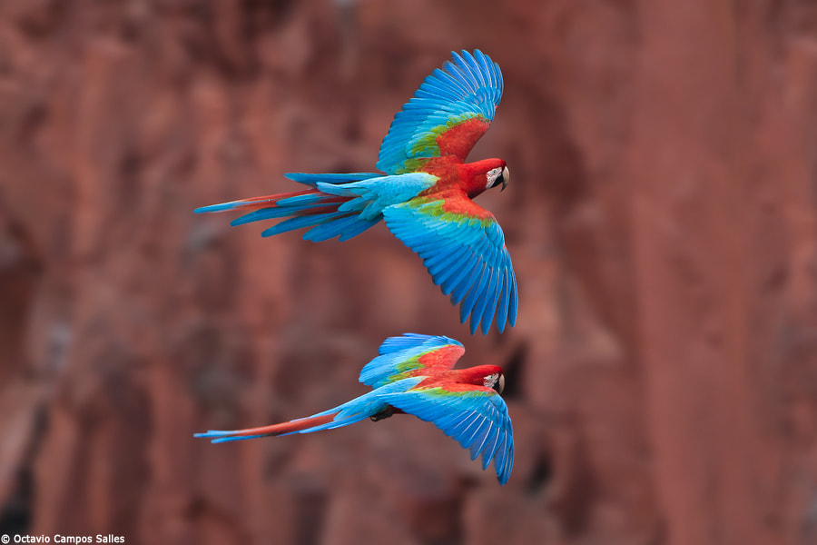Photograph Red-and-green Macaws (Ara chloropterus) by Octavio Campos Salles on 500px