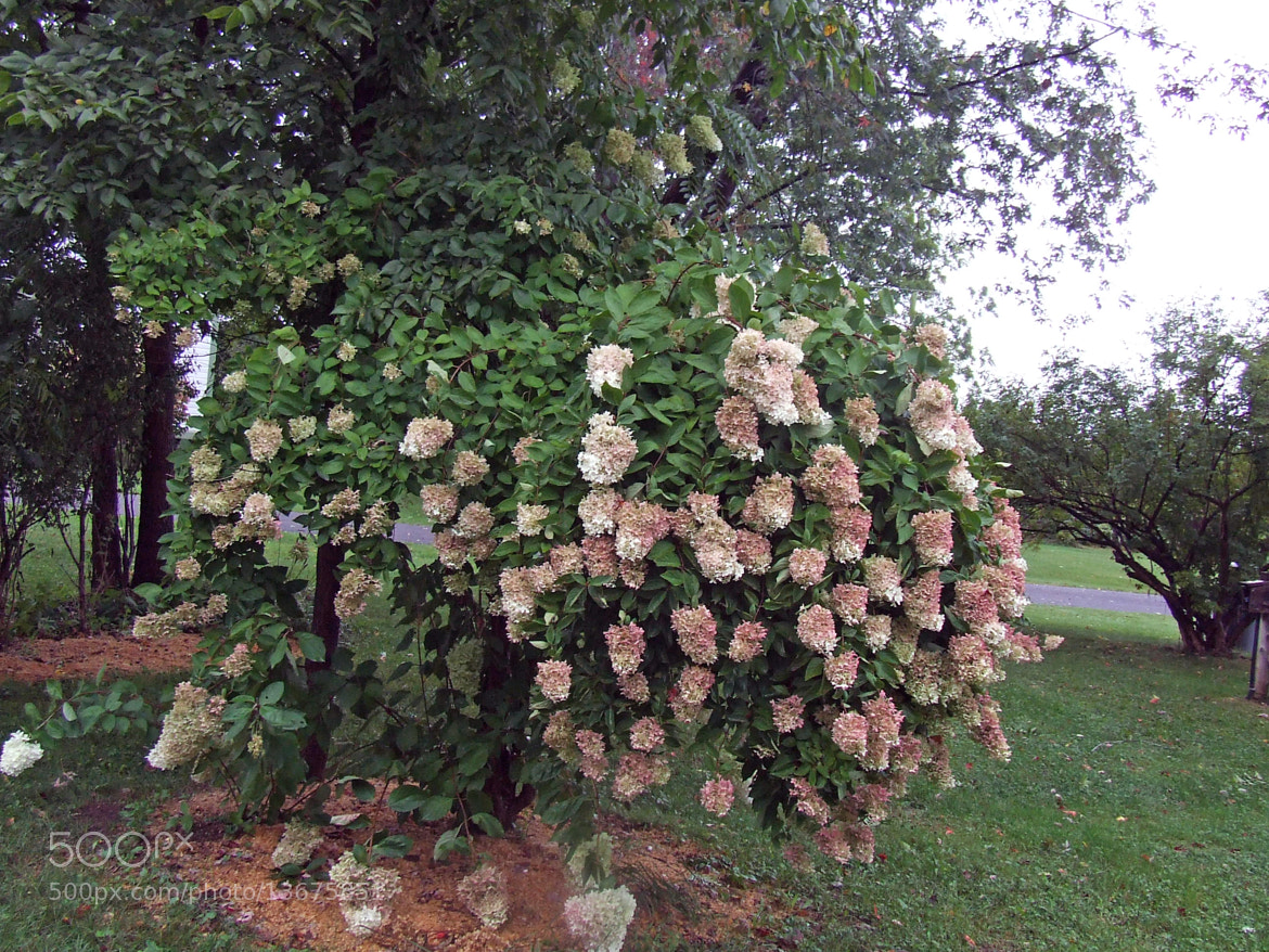 Photograph Late Summer Flowering Shrub by Gary Labelle on 500px