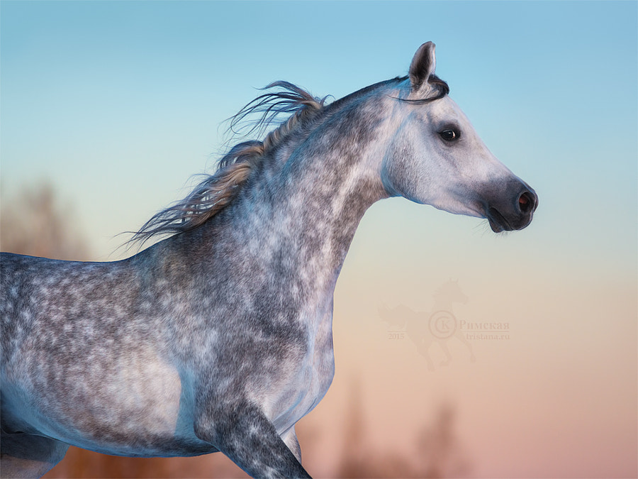 Gray Arabian horse on background of evening sky by Kseniya Rimskaya on 500px.com