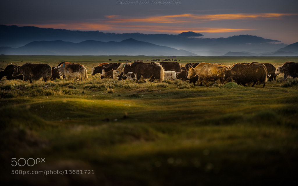 Photograph March of the Yaks by Coolbiere. A. on 500px