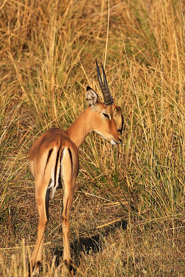 Photograph Impala by Blaz Crepinsek on 500px