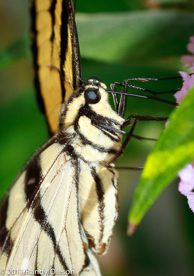 Photograph Swallowtail Portrait by Randy Oleson on 500px