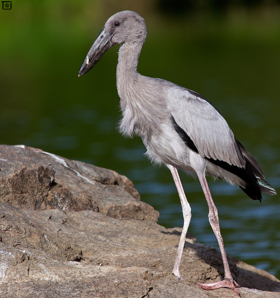 Photograph Asian Openbill - Juvenile by Thejaswi GVN on 500px