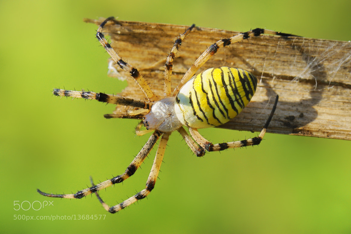 Photograph Argiope by mauro maione on 500px